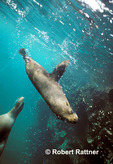 A Galapagos Fur Seal dives after surfacing to breathe and another swims toward the surface