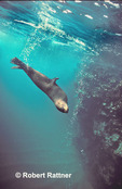 Galapagos Fur Seal diving after surfacing to breathe