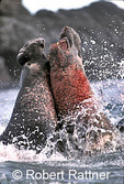 Bull Northern Elephant Seals battle in surf for breeding dominance