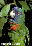 Red-necked Amazon Parrot (Jacquot) in captivity