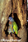 St Lucia parrot fledgling