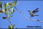 Emerald Hummingbird (Cuban Emerald)
