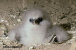 White-tailed Tropicbird chick