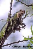 Lesser Antillean Iguana (juvenile)