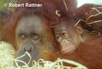 Bornean Orangutan mother and new born baby