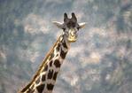 Kenyan (Masai Giraffe