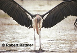 Marabou Stork spreading its wings