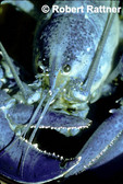 Blue Lobster-color morph of American Lobster