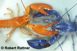 Blue and Orange Lobsters-color morphs of American Lobster