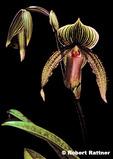 Paphiopedilum (lady's slipper) Orchid