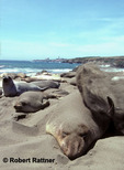 Elephant Seal sand flipping