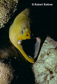 Green Moray Eel coming out of crevice in coral reef