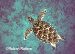 Juvenile Hawksbill Turtle with metal flipper tags