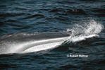 Northern Fin Whale surfacing to breathe