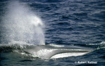 Northern Fin Whale breathing at surface
