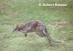 Parma Wallaby hopping