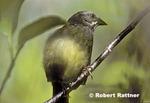 Zapata (Cuban) Sparrow
