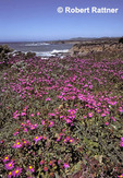 Wildflowers on cliff, San Simeon Point, CAlifornia