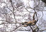 Woolly Spider Monkey resting in tree