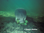 Manatee eating water hyacinth