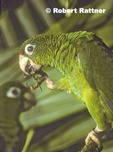 Puerto Rican Parrot in breeding aviaries