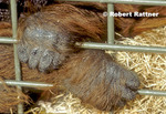Hands of Bornean Orangutan in zoo