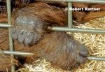 Hands of Bornean Orangutan in zoo