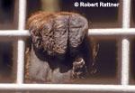 Hand of Bornean Orangutan in Zoo