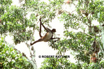 Spider Monkey, Peten Jungle