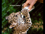 Jaguar Cub being bottle fed in Belize Zoo