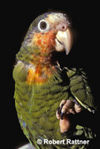 Grand Cayman Parrot (Cuban Parrot, Rose-throated Parrot) in captivity
