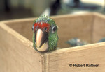 Captive born Thick-billed Parrot chick