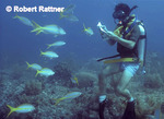 Scuba Diver with underwater guidebook looking at Yellowtail Snappers