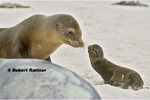 Galapagos Sea Lions - mother & baby