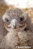 Northern Aplomado Falcon Chick
