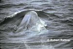 Blue Whale in North Atlantic off Montauk, New York, U.S.A.