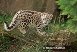 Captive born Snow Leopard cub in zoo