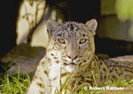 Snow Leopard in zoo