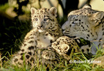 Snow Leopard with cubs captive bred in zoo
