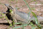 Mona Island Ground Iguana