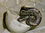 Ball Python Hatching