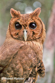 Jamaican Owl or Pottoo