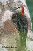 Jamaican Woodpecker with insect at nest hole