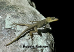 Anole lizard (endemic)