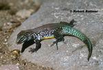 St  Lucia Whiptail Lizard (Maria Island Lizard) - male