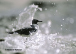 Laughing Gull in surf