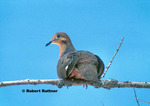 Zenaida Dove in tree