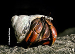 Cobo or Land Hermit Crab migrating