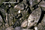 Cluster of Zebra Mussels with juveniles in Lake Erie near South Bass Island, Ohio
