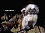 Cotton-top Tamarin and young (in captivity)